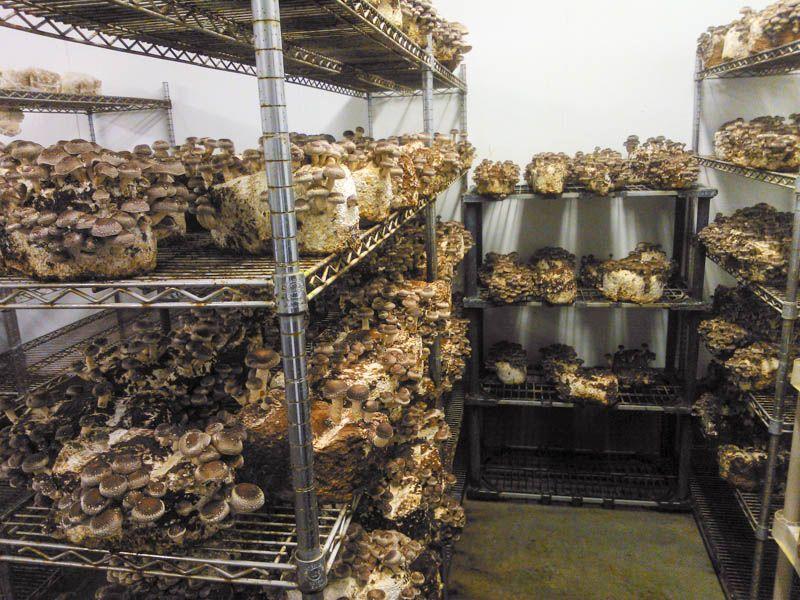 Как открыть бизнес на выращивании грибов в домашних условиях с нуля